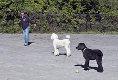 2657 (Jean Arf) Tags: ellison park dogpark rochester ny newyork september autumn fall 2016 poodle dog standardpoodle paul doris jane