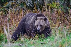 got my eye on you !! (wesleybarr1962) Tags: grizzly grizzlybear grizzlybearmom