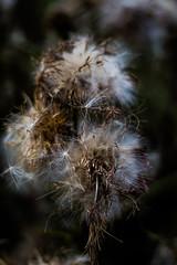 Vom Winde verweht (Anne_Preuß) Tags: nature naturelovers natureshooters naturephotography ostsee 2016 urlaub summer hollyday sommer flower canon outdoor eos700d 50mm18