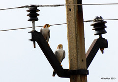 Red Necked Falcons (McGun) Tags: raptor falcon chennai 2013 redneckedfalcon siruthavur