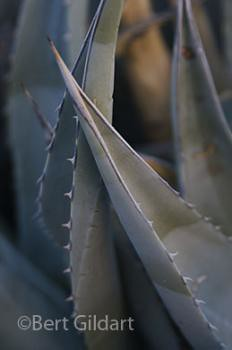 Agave presents a thorny side