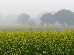 IMG_0205 (Tarun Chopra) Tags: camera travel india mist fog canon photography village zoom gurgaon powerful haryana mustardfarm indiatravelphotography canonpowershotsx50hs gurugram