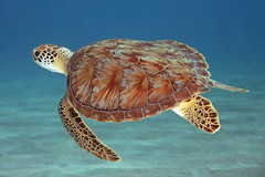 Shell Games (laszlo-photo) Tags: underwater turtle scuba diving curacao seaturtle curaçao greenturtle forti playaforti freeforcommercialuse