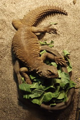 Mallow (severalsnakes) Tags: lizard lizards uromastyx