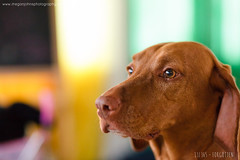 THIRTEEN - Forgotten (Megan Johns Photography) Tags: dog vizsla forgotten winnie 13365 projectlife365