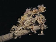 Pisa sp (Centro Sub Monte Conero) Tags: mar mediterraneo mare centro crab pisa muck conero numana nord sabbia adriatico ancona granchio sirolo benthos crostaceo decoratore mascheramento