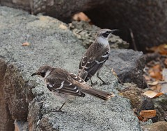 Pair of Galpagos Mockingbirds, Mimus parvulus (autrevie) Tags: ecuador islasantacruz galapagosmockingbird galpagosislands galpagosmockingbird mimusparvulus elgarrapatero