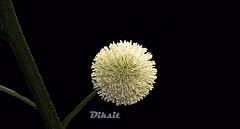 (V.K. Diksit) Tags: flowerthequietbeauty