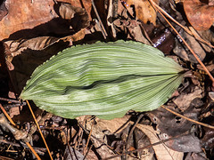 Winter leaves of Aplectrum hyemale (Putty-root orchid) (jimf_29605) Tags: orchids southcarolina olympus wildflowers zuiko e5 zd aplectrumhyemale winterleaves greenvillecounty 1260mm puttyrootorchid