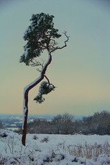 My favourite tree in Winter (TempusVolat) Tags: winter snow tree pine digital canon vintage eos hill somerset cadbury dslr twisted canoneos gareth tinted digitalslr tempus hillfort yatton 60d canon60d cadburyhill volat eos60d wonfor mrmorodo garethwonfor tempusvolat