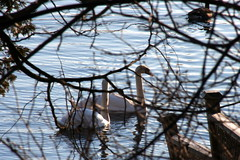 Whistling Swans, Trent River, Glen Ross, Ontario, Jan. 26, 2013_8174 (Bobolink) Tags: ontario whistlingswan glenross