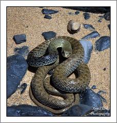 Montpelier snake (Malpolon Monspessulanus) (Linda Ann Jenkins 00) Tags: sea beach portugal nationalpark sand rocks reptile snake lagos algarve annclark welshflickrcymru reeptile ilustrarportugal weshflickr