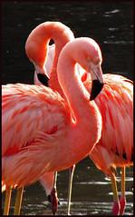 Pretty In Pink (Laurel714) Tags: pink bird zoo kentucky flamingo louisville louisvillezoo