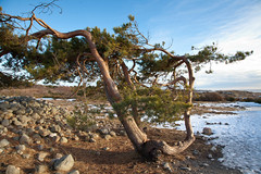 Weathered tree (Jostein Nilsen Photography) Tags: pictures camera cold tree beautiful norway digital canon photography photo vinter europe exposure raw image contest january competition images best getty scandinavia nilsen gettyimages sandisk vestfold mlen jostein 2013 canonef24105mmf4lisusm canoneos5dmarkii 5dmk2 canon5dmarkii josteinnilsen lensblr photographersontumblr