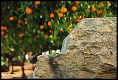 IMG_5232 (Capitn pan) Tags: verde gris andaluca bokeh rbol crdoba naranja piedra alczar naranjo mygearandme