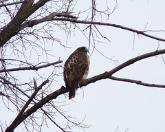 Red-tailed Hawk (Dendroica cerulea) Tags: winter bird birds newjersey hawk nj aves raptor highlandpark redtail birdofprey redtailedhawk buteojamaicensis buteo falconiformes accipitridae middlesexcounty accipitriformes donaldsonpark