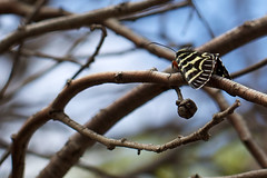 Mistletoe Moth (sunphlo) Tags: noctuidae agaristinae mistletoemoth comocrusbehri