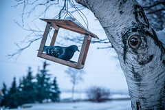 (Olga Kruglova) Tags: morning winter dark russia pigeon north    arkhangelsk