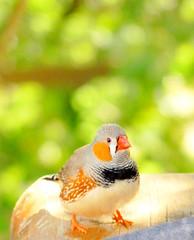 Hey, Willy! (Nat.~*) Tags: bird bokeh colores ave pajarito catchycolorsgreen diamantemandarín pinzóncebra