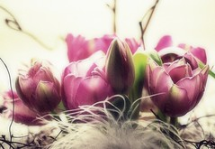 Just tulips (mamietherese1) Tags: soft expression textures vip shining fa ict ourtime photomix mfcc expressyourself callingallangels greatphotographers artdigital contemporaryartsociety fantasticnature artisticflowers memoriesbook flowersarebeautiful overtheexcellence floralessence theenchantedcarousel goldenart saariysqualitypictures don'tworrybehappy imagicland coppercloudsilvernsun dreamyandethereal fugitivemoment sublimeflowershot exoticimage persephonesgarden ringexcellence blinkagain untouchabledream cedruseternum phoeniximmortal lovelymotherearth universeofphotography allnaturesparadise itsallaboutflowers odetojoyodeàalegria netartii flickrstruereflection1 artcityart rememberthatmomentlevel1 flickrsfinestimages1 rememberthatmomentlevel2 me2youphotographylevel1 besteverdigitalphotography vigilantphotographersunite vpu2