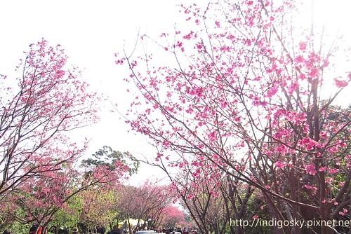 北投賞櫻-IMG_8512