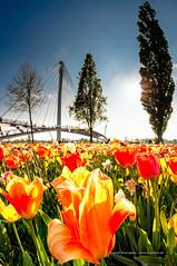Tulipes aux deux rives