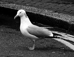 (Amber-Thomas) Tags: seaside seagull gull