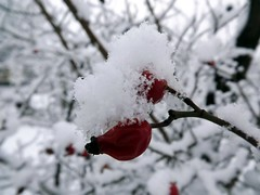 Csipke hlepelben / Rose-hips under snow (Verspatikus) Tags: winter snow hip rosehip h escaramujo tl csipke monterhanche