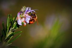 Busy, 2 (over.leaf) Tags: light flower garden evening bee honey rosemary