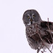 Prawda Great Gray Owl...#1
