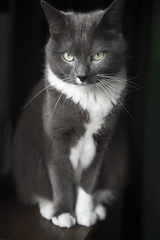 Our grey cat Muffin (Merlijn Hoek) Tags: blackandwhite digital cat wow grey kitten dof great depthoffield explore stunning 28 nikkor poes grijs d800 haren grauw littlecat poesje snorharen smallcat digitaal scherptediepte merlijnhoek nikond800 catmoments