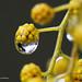 Gocce di Mimosa