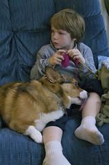 The knitter vs Ladybug (DWO630) Tags: boy dog pembroke corgi chair knitting raw lick welsh knitter