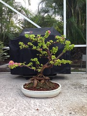 Photo taken today. I'm getting a lot of new growth already! I'm going to let it grow out for a bit and work on getting some nice back budding. (Cryptic Culture Gear/ Luminous Soul Designs) Tags: flower tree yellow florida bougainvillea pixie queen pot bonsai variegated trolical
