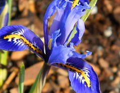 Iris (careth@2012) Tags: iris beautifulearth flowersforever creativeimpulse showthebest macroinstyle luizasflowergarden thebestofbeautifulearth suzysflowersgallery
