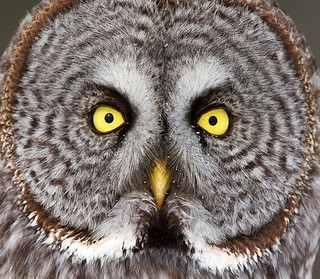 Look into my eyes, - Great Gray Owl,  Ottawa, Canada