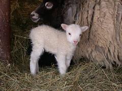 Dixie with her twin lambs (A Really Small Farm) Tags: sheep lamb lambs shetland lambing shetlandsheep springlambs garywalton