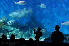 2012_08_06_213a.jpg (Howard Ferrier) Tags: aquarium architecture australia child fish greatermelbourne grouper leisurebuildings melbourne melbourneaquarium oceania people silhouette victoria vertebrate themes chordate southbank