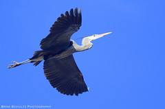 Heron in Flight (B.G.Schultz-Photography) Tags: nikon cuyahogavalleynationalpark cvnp d7000