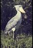 Shoebill in Ueno Zoo (Tokyo, Japan) [EXPLORE] (Shanti Basauri) Tags: bird nature animal japan zoo tokyo asia ueno ave zoológico rex stork kanto shoebill tokio japón whalehead japonia balaeniceps サンシャインシティ shoebilled picozapato pelecaniforme dōbutsuen pájarogigante