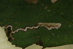 Stigmella Aurella - Leaf mine - 29/03/2013 (troubleatmill) Tags: lane moths gregson