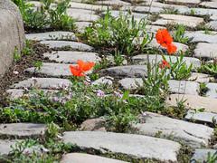 ckuchem-0401 (christine_kuchem) Tags: wild rot wasser steine stadt grn ufer blte mohn kopfsteinpflaster pflasterstein stadtgrn kopfstein wachsen begrnung ziwschen wildpflanze wildwuchs feldblume
