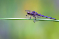 Purple Dragon (PhillymanPete) Tags: summer color dragonfly nature stem purple green insect macro beauty hot philadelphia pennsylvania unitedstates us nikon d7200 bokeh colorful