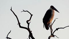Marabou Stork Standing on Tree Branch at Dusk, Etosha National Park, Namibia (dannymfoster) Tags: africa namibia etosha nationalpark etoshanationalpark animal bird stork maraboustork dusk