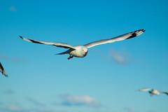 IMG_6303-2 (gsreejith) Tags: silvergull inflight birds birdinflight blue sky