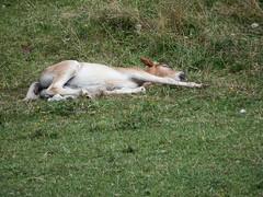 DSCF1302 Grigne ago 2016 - Il sonno dei giusti! I cuccioli dormono sempre!!! (Franz Maniago) Tags: animalidomestici animali