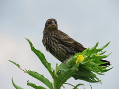 Female red-winged blackbird (JJP in CRW) Tags: iowa leclaire birds