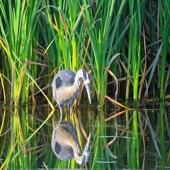 365-2-209 Heron / Narissus (benlarhome) Tags: calgary alberta canada 365 fishcreek fishcreekpark heron bird