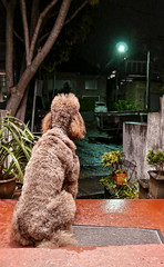 63+005: 'It rained on my parade' (geemuses) Tags: issy isabeau standardpoodle rain manly northernbeaches sydney nsw australia dogs canines walks