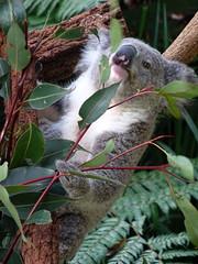 Hungry Koala (enjosmith) Tags: koala gum tree grey hungry tarongazoo